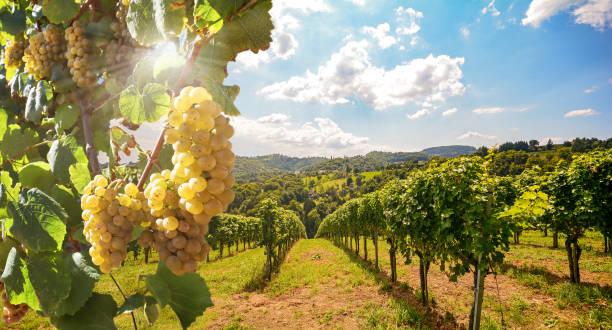 Weinberg mit Weißweintrauben im Spätsommer vor der Weinlese in der Nähe eines Weinguts – Foto