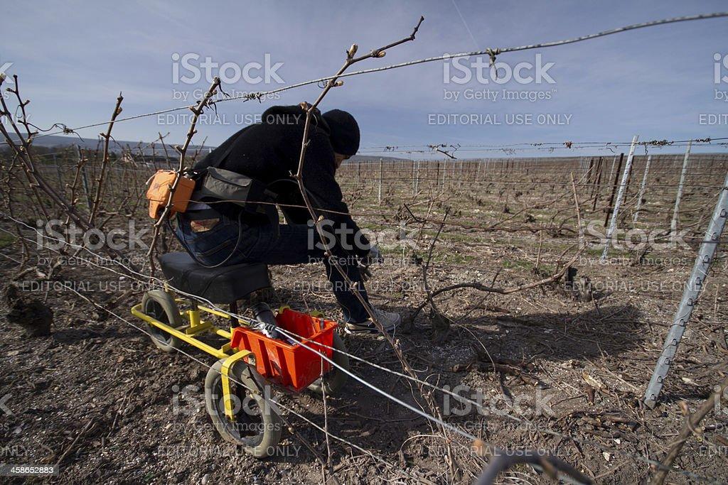 Vineyard worker wide angle stock photo