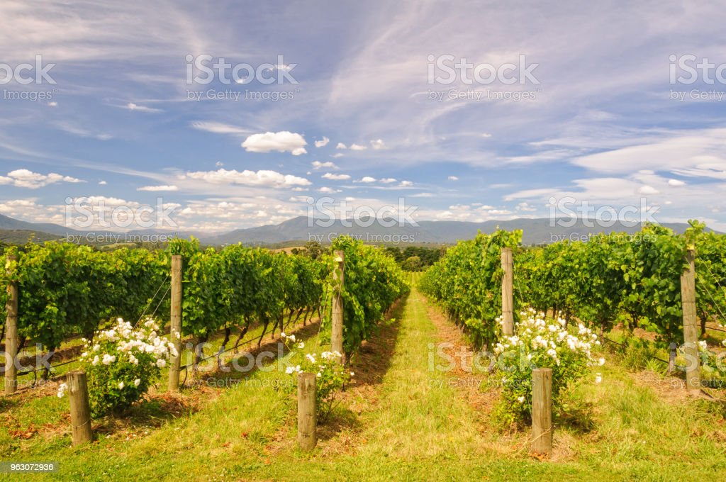 Vineyard - Yarra Glen stock photo