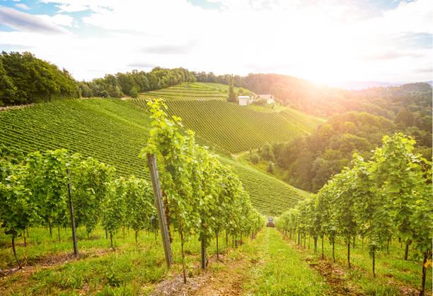 vingårdarna längs den södra steiermark vinvägen i höst, österrike europa - vineyard bildbanksfoton och bilder