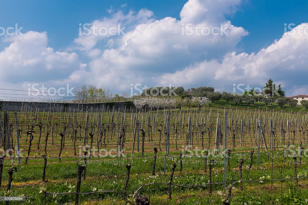 Vineyards and cherry trees in bloom stock photo