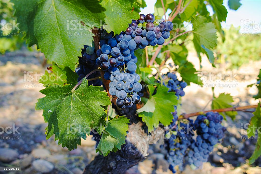 Vineyards and grape harvest in chateau, Chateauneuf-du-Pape, France stock photo