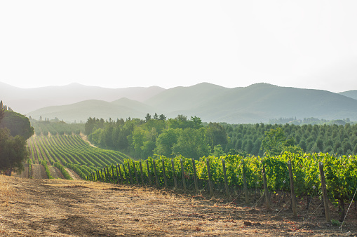Vineyards in Livorno region (Tuscany) in the morning. Italy