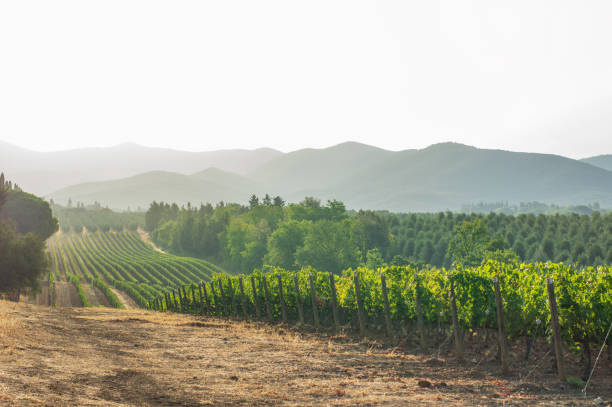 vineyards and landscape in tuscany. Italy Vineyards in Livorno region (Tuscany) in the morning. Italy cultivated land stock pictures, royalty-free photos & images