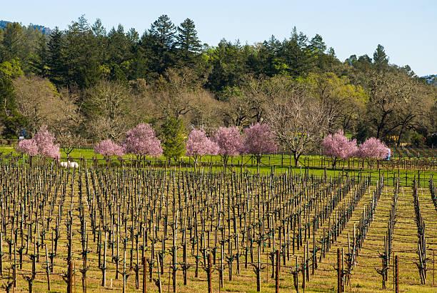 weinberge und neue spring flowers nahe calistoga napa valley, kalifornien - robert weinberg stock-fotos und bilder