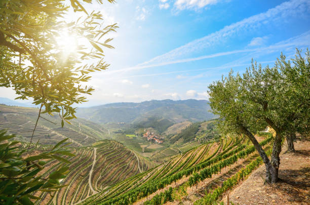 vineyards and olive trees in the douro valley near lamego, portugal europe - portugal stock photos and pictures