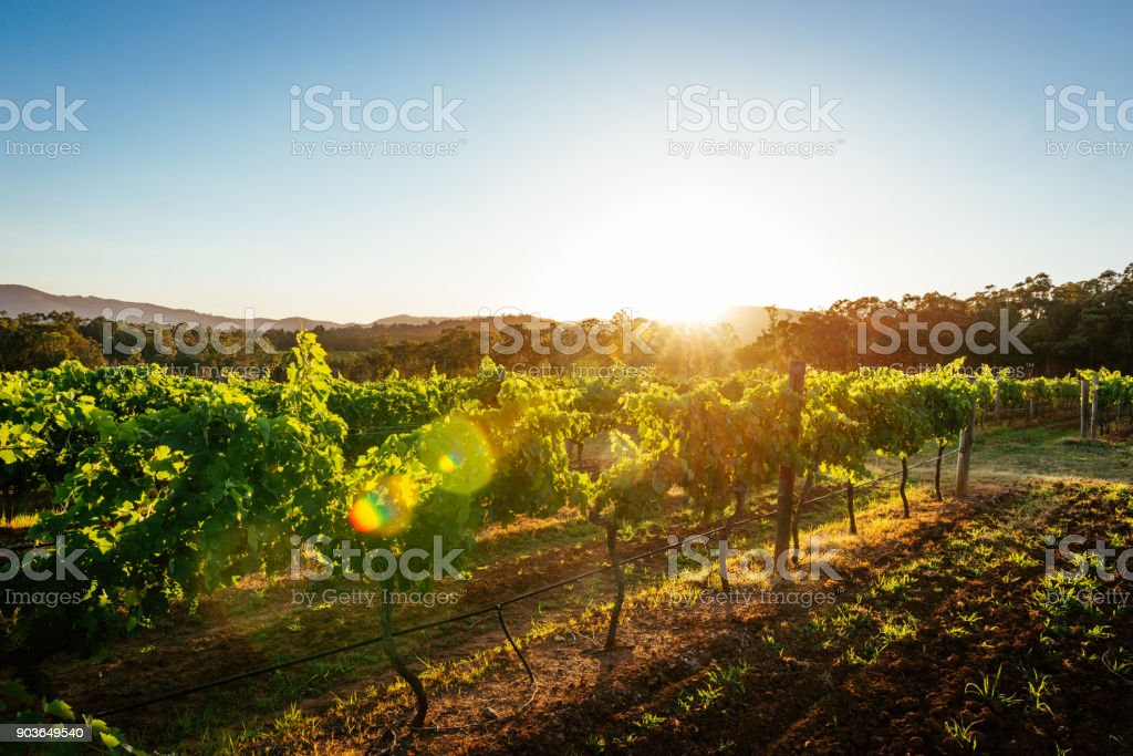 Vineyards and wine-making of quality wines stock photo