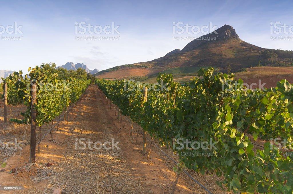 Vineyards around Stellenbosch, Western Cape, South Africa, Afric stock photo