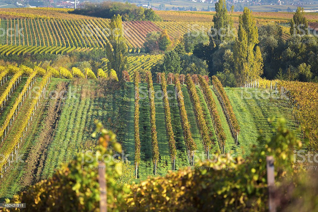 Vineyards at autumn, Pfalz, Germany stock photo