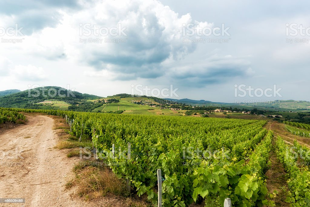 Vineyards at Beaujolais, France. stock photo