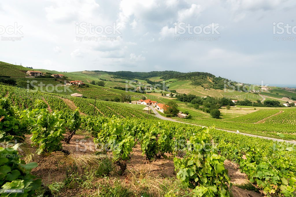 Vignobles de Beaujolais, France. - Photo
