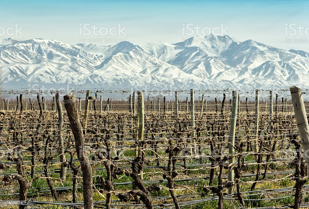 Vineyards at foot of the Andes stock photo