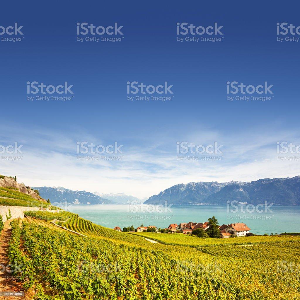 Vineyards at Geneva lake stock photo