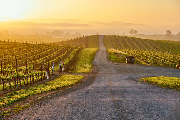 Vineyards at sunrise in California, USA Vineyards landscape at sunrise in California, USA sonoma stock pictures, royalty-free photos & images