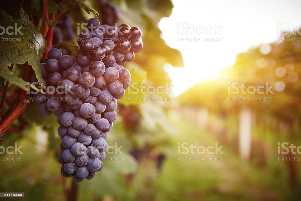 Vineyards at sunset in autumn harvest stock photo