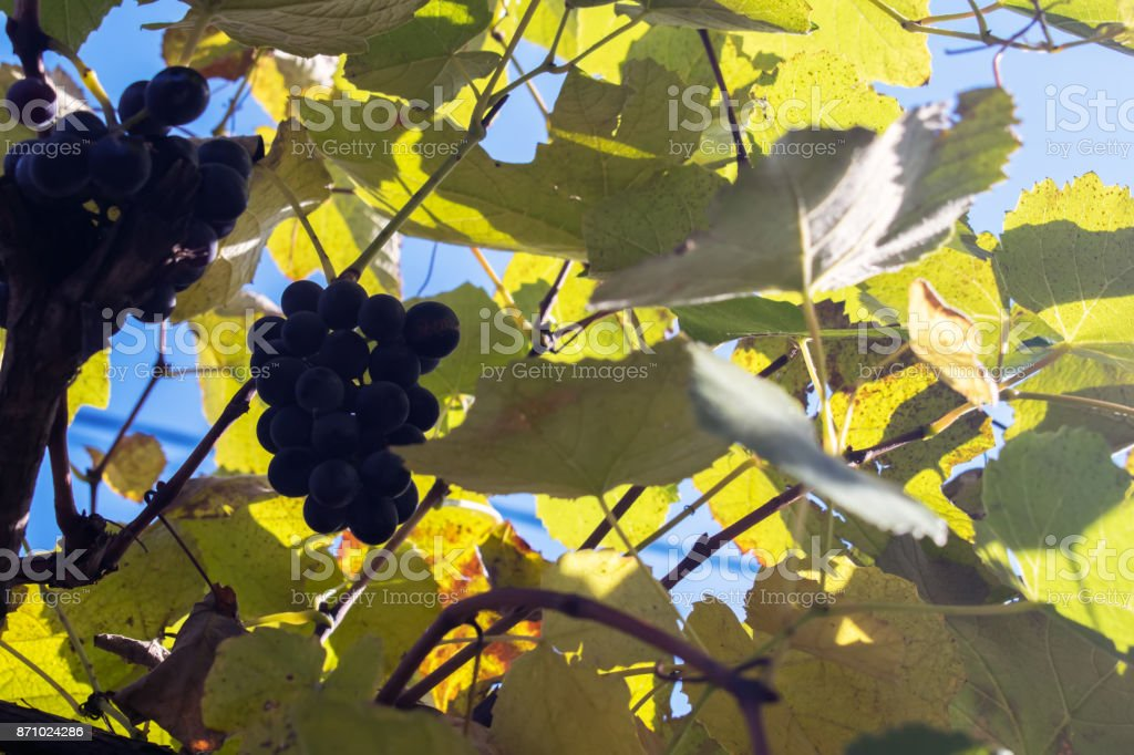 Vineyards at sunset in autumn harvest. Ripe grapes in fall. stock photo
