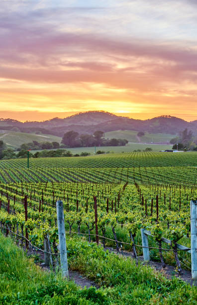 Vineyards at sunset in California, USA Vineyards landscape at sunset in California, USA sonoma stock pictures, royalty-free photos & images