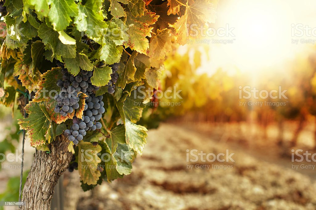 Vineyards at sunset Vineyards at sunset in autumn harvest. Ripe grapes in fall.Cluster grapes on left Agricultural Field Stock Photo