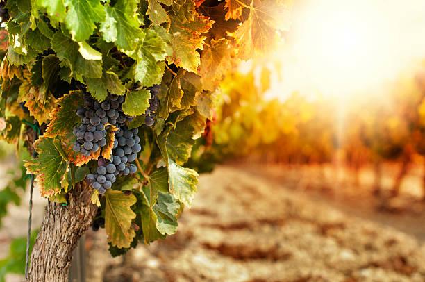 vineyards at sunset - vineyard bildbanksfoton och bilder