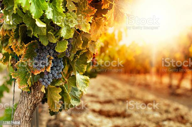 Vineyards At Sunset Stock Photo - Download Image Now