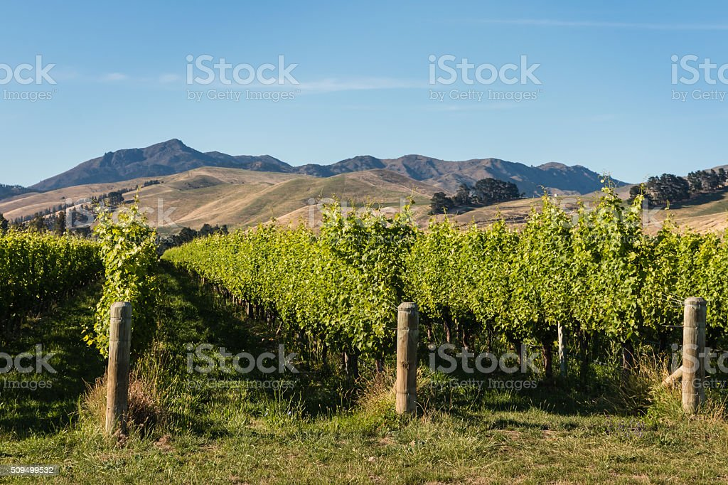 vineyards at Wither Hills stock photo