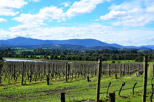 Vineyards at Yarra Valley Yarra Valley, Australia: 29th Aug 2016: This picture was taken at the LVMH Domaine Chandon vineyard. It shows the winter pruned vineyards and the Great Dividing Mountain Range in the horizon. moët & chandon stock pictures, royalty-free photos & images