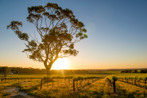 Vineyards Barossa Valley, Adelaide - AustraliaVineyards Barossa Valley, Adelaide - Australia