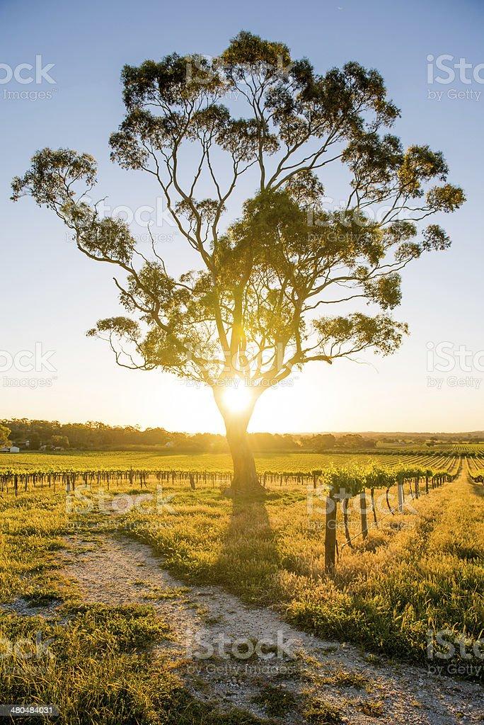 Vineyards Barossa Valley, Adelaide - Australia stock photo