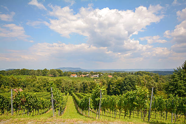 weinberge vor ernte, southern steiermark nahe leibnitz österreich - burgenland stock-fotos und bilder