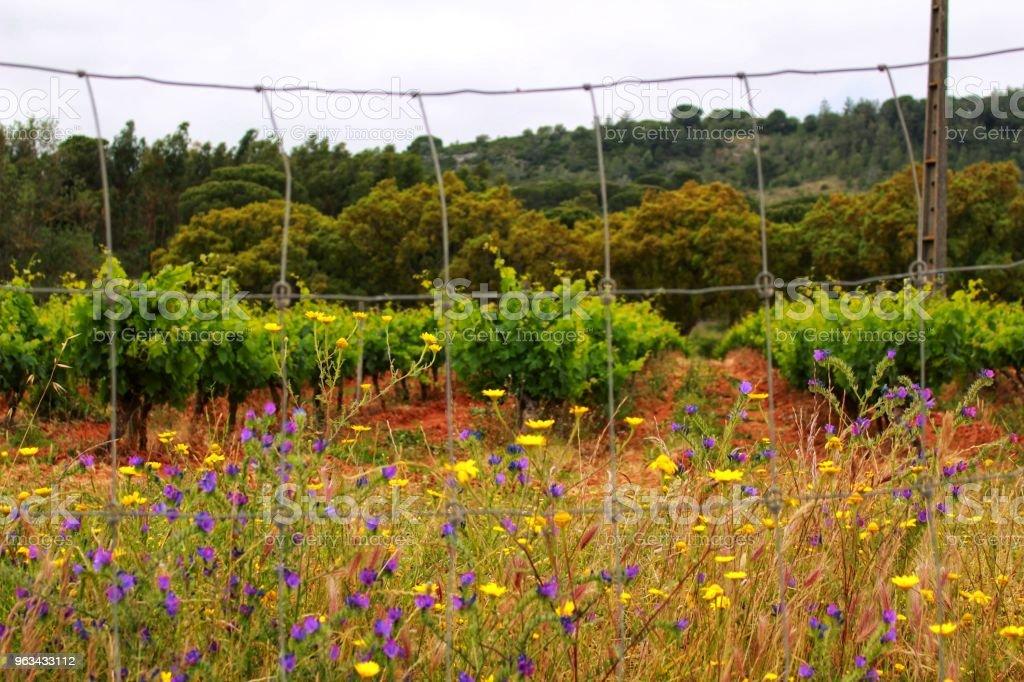 Vignobles entre montagnes Arrabida - Photo de Agriculture libre de droits