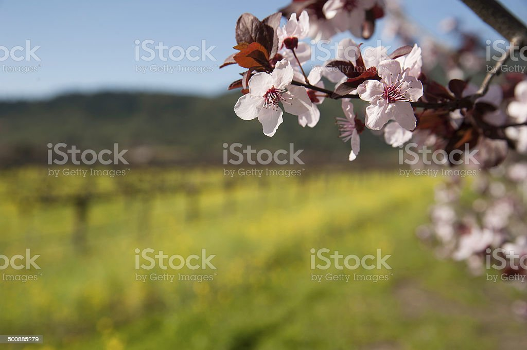 Vineyards Cherry Tree, Northern California stock photo