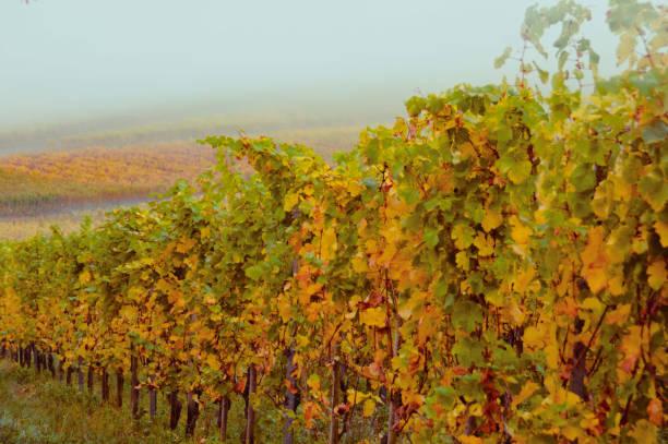 vingårdarna under hösten - bernkastel kues höst bildbanksfoton och bilder