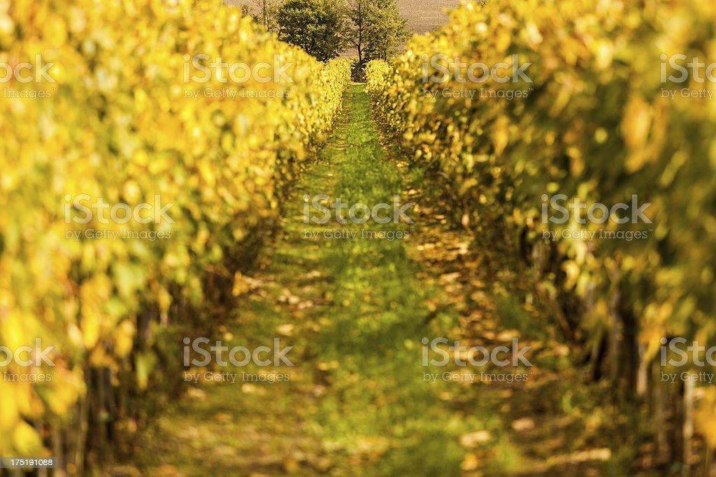 Vineyards Field in Autumn, Tuscany, Chianti Region royalty-free stock photo