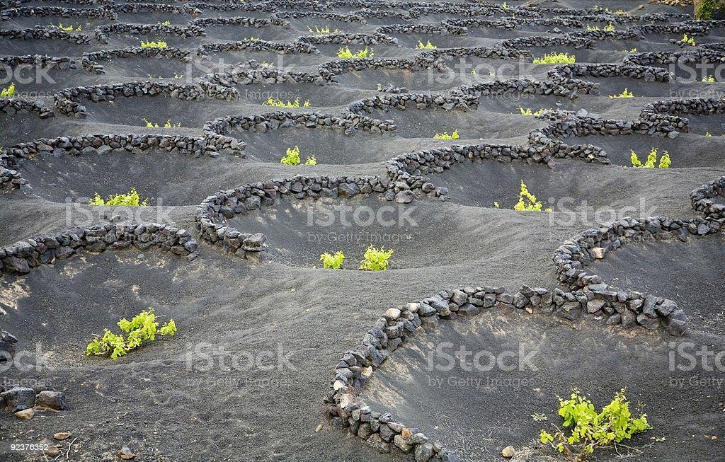 Vineyards growing on volcanic soil royalty-free stock photo