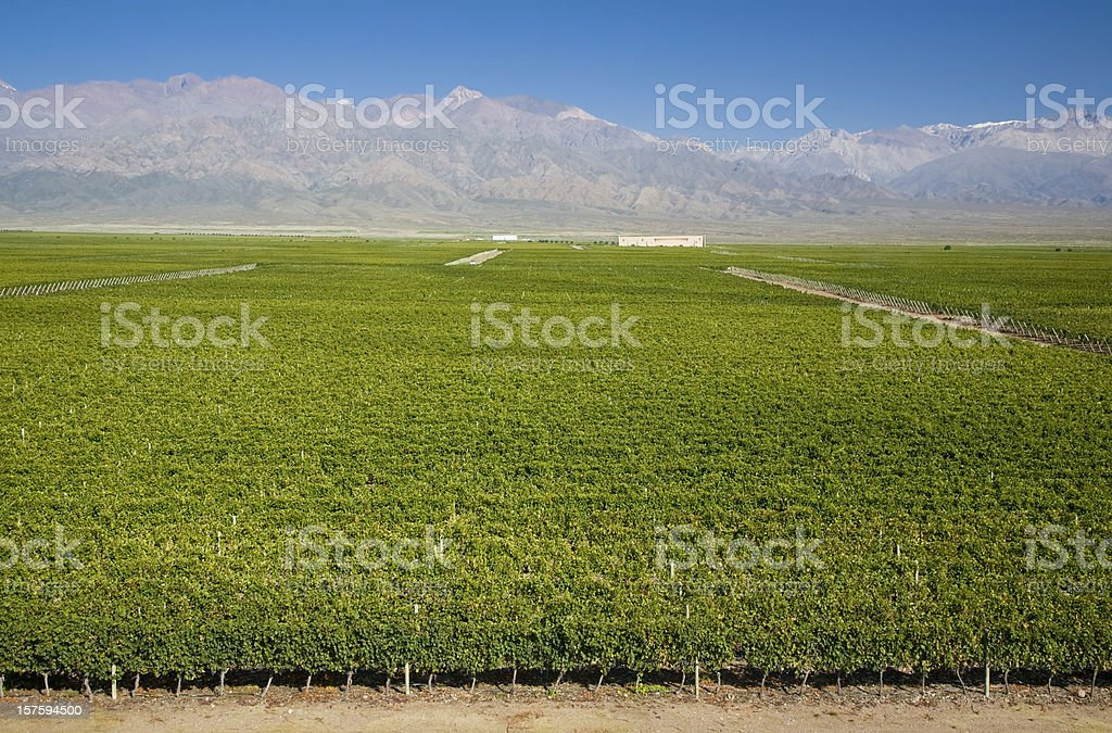 Vineyards in Argentina royalty-free stock photo