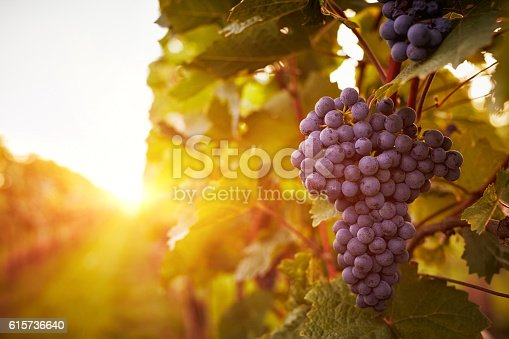 istock Vineyards in autumn harvest 615736640