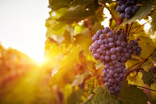 vineyards in autumn harvest - ripe stock photos and pictures