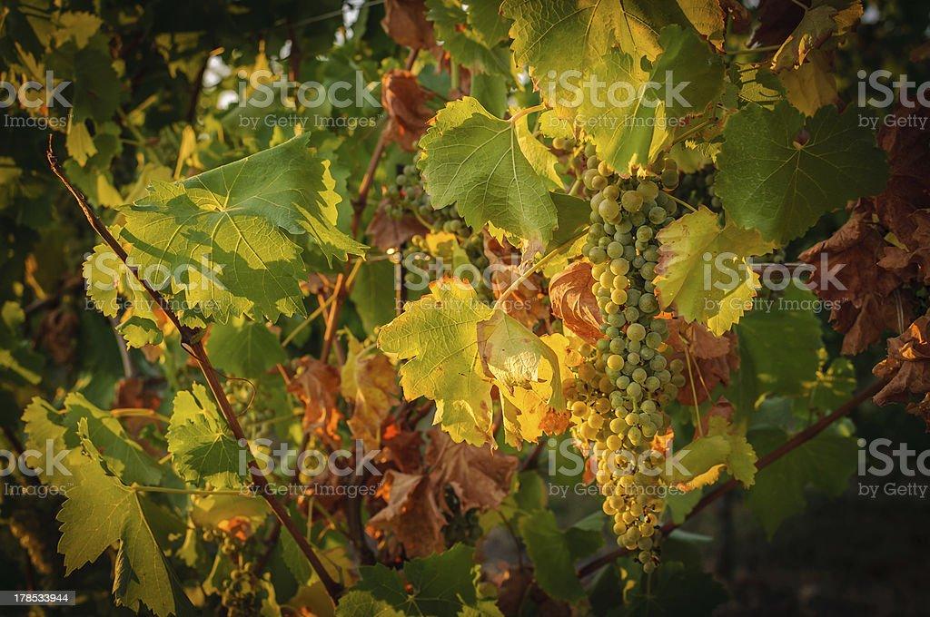 Vineyards in autumn royalty-free stock photo