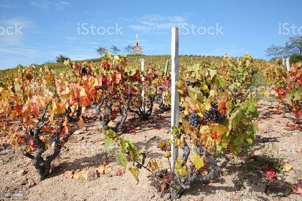 Vineyards in Beaujolais near Theize stock photo