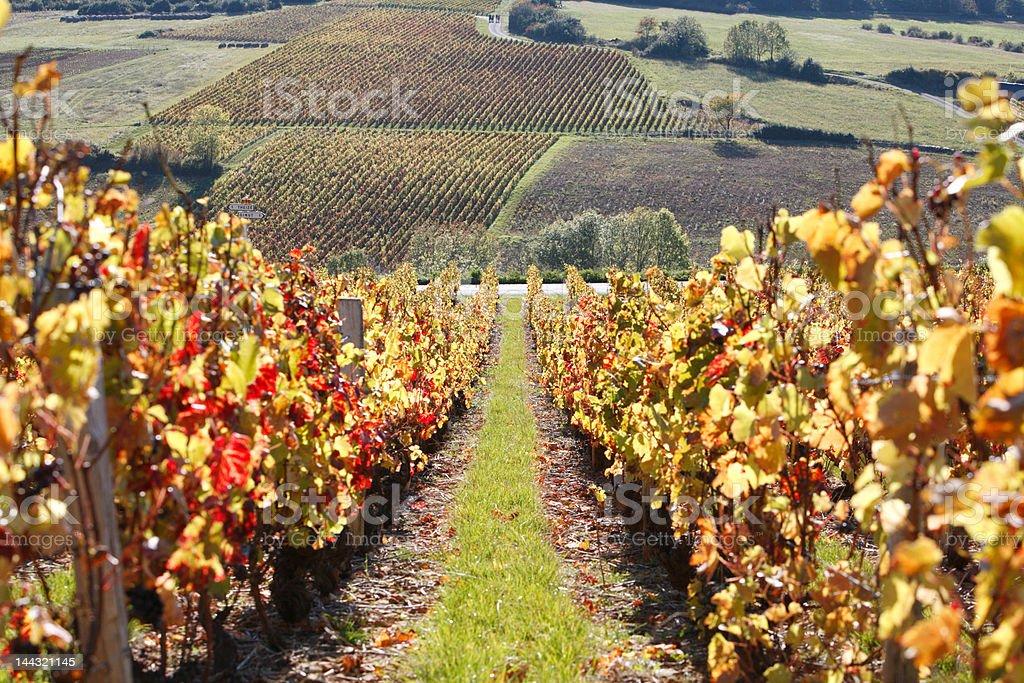 Vineyards in Beaujolais royalty-free stock photo