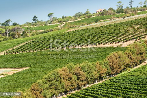 Graphic lines of green sloped vineyards and autumn trees in Cape Peninsula, Cape Town, South Africa