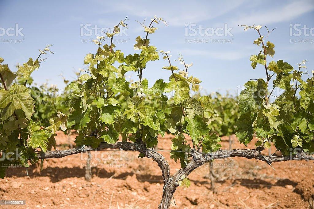Vineyards in Catalonia royalty-free stock photo