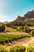 Vineyards in Constantia near Cape Town, South Africa