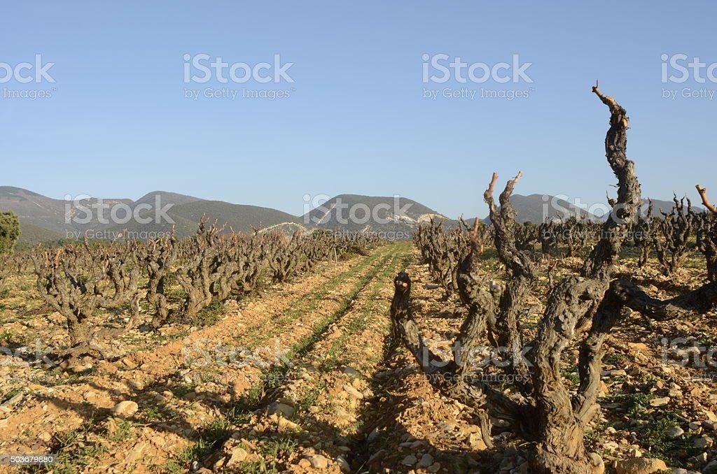 Vineyards in Drome provencal, France stock photo