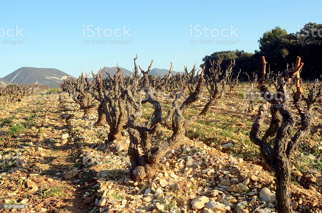 Vineyards in Drome provencal France stock photo