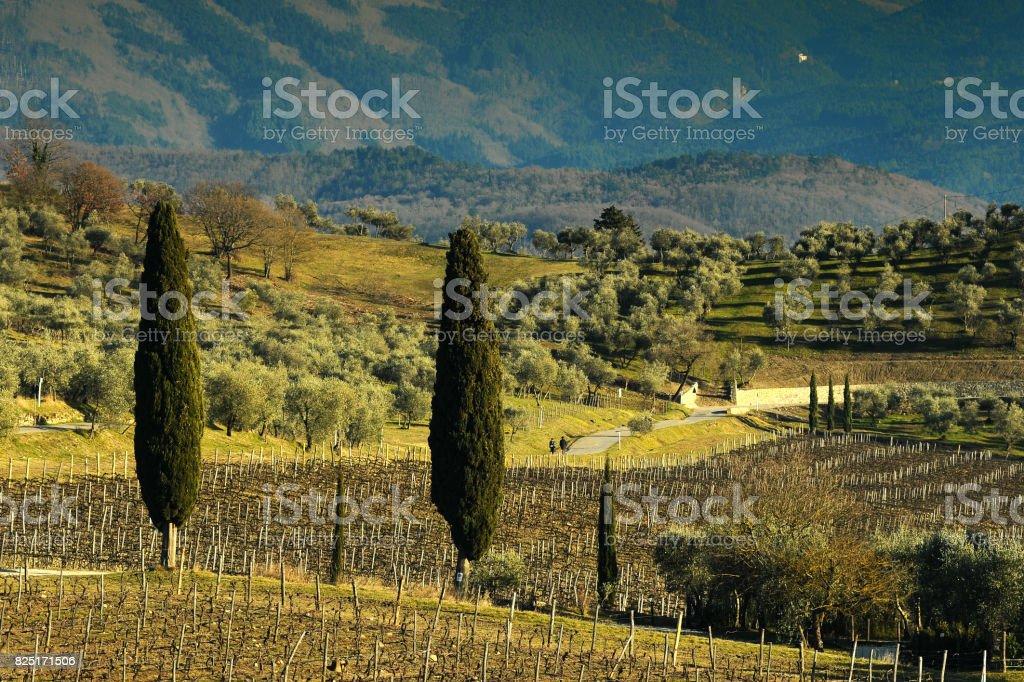 Vineyards in Fall Season near Florence. Italy. stock photo
