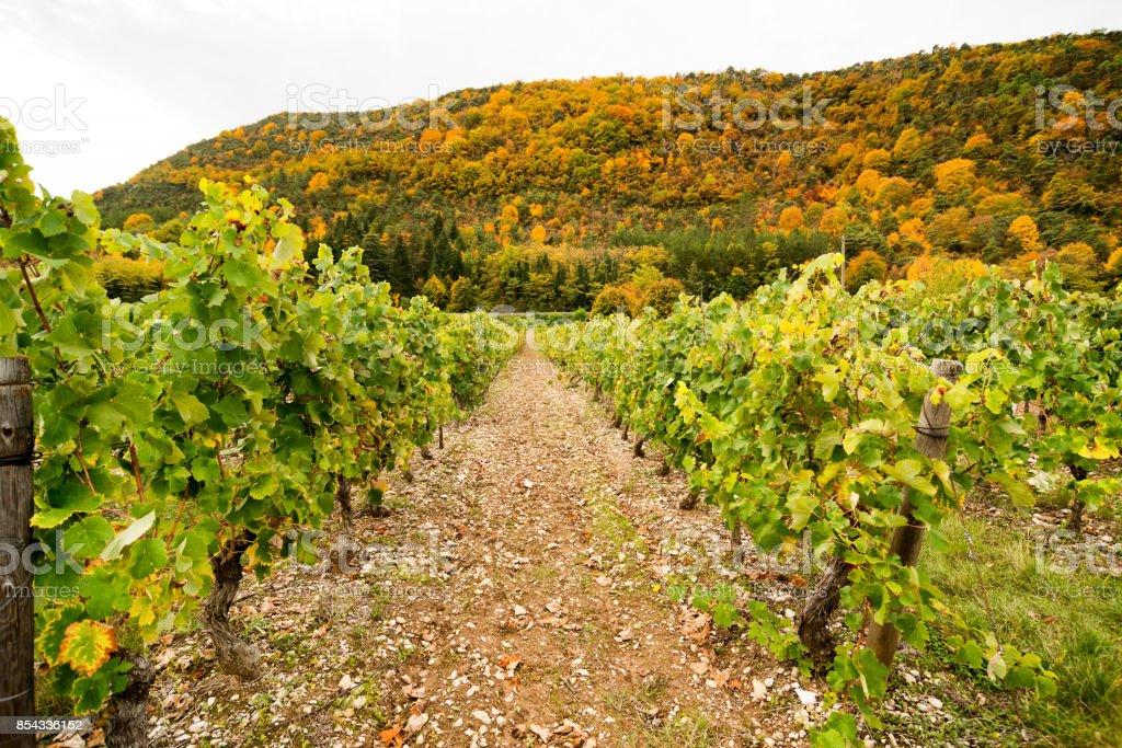 Vineyards in France, autumn, Drome,  wine Clairette de Die stock photo