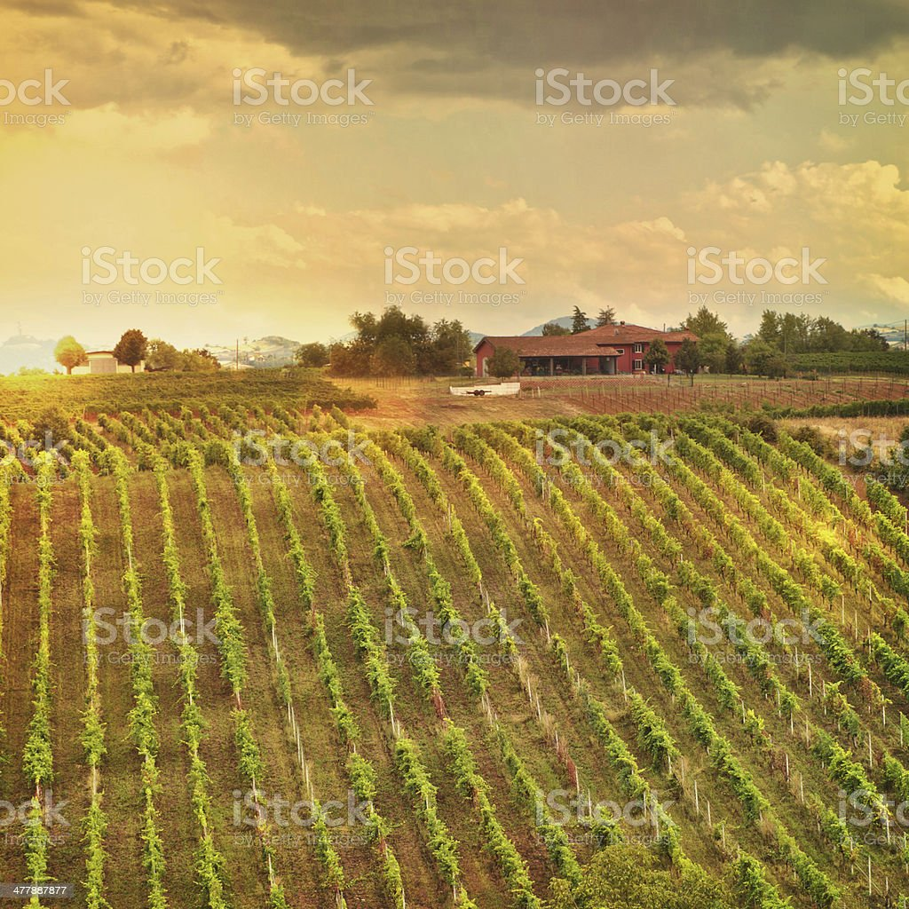 Vineyards in Italy royalty-free stock photo