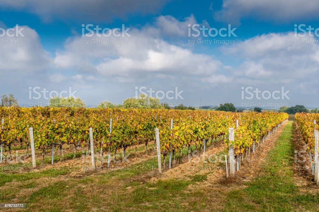 Vineyards in Medoc region near Bordeaux in France with hills grapes and trees stock photo