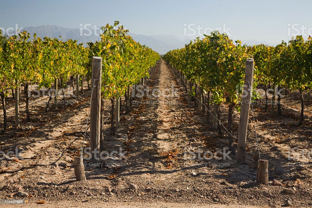 Vineyards in Mendoza Argentina royalty-free stock photo